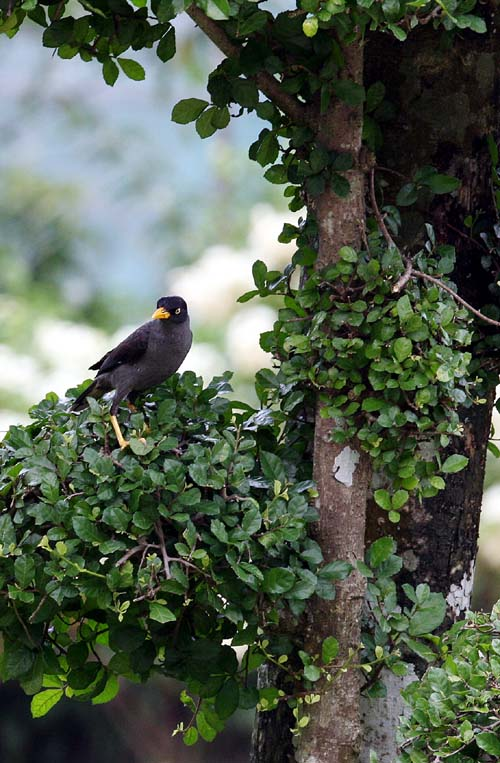 The Little talking Mynah Bird | Visuallens - photo#26