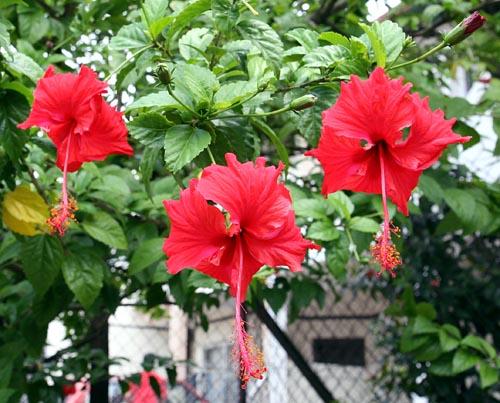 The Beautiful Flower Hibiscus Bunga Raya Visuallens