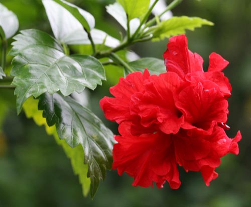 The Beautiful Hibiscus Flower 1 Visuallens