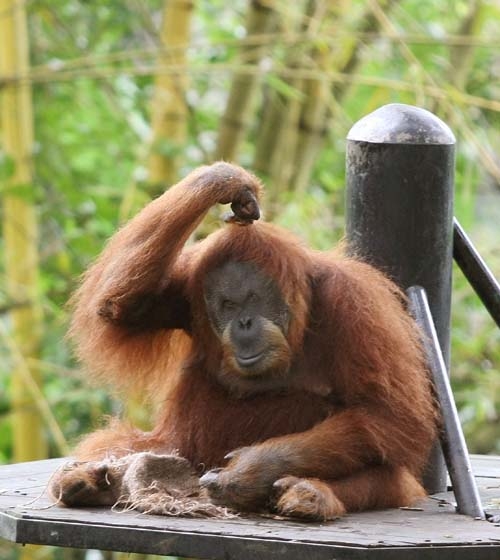 Orangutan Lifespan The Bornean and Sumatr...