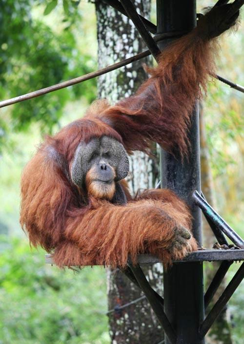 The Bornean and Sumatran Orangutans | Visuallens