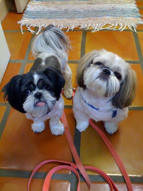 shih tzu hairstyles. Both of them are Shih Tzu dogs