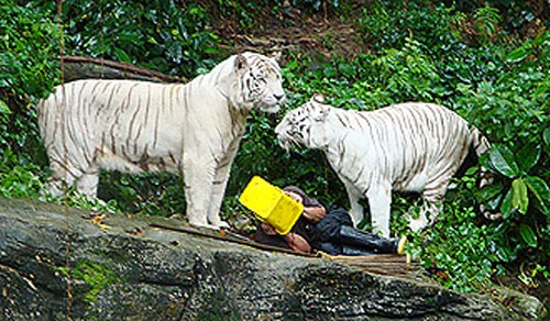 white-tigers-2