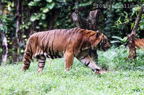 Are the wild Malayan tigers protected from The National ...