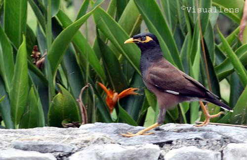 Mynah Bird Pet - photo#45