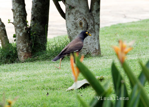 Is this Little Talking Common Mynah Bird a pet or nuisance ... - photo#41