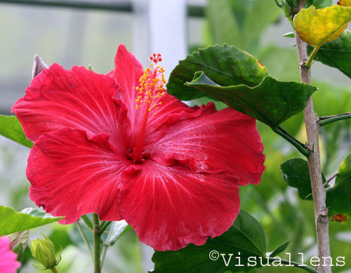 hibiscus flower  visuallens, Beautiful flower