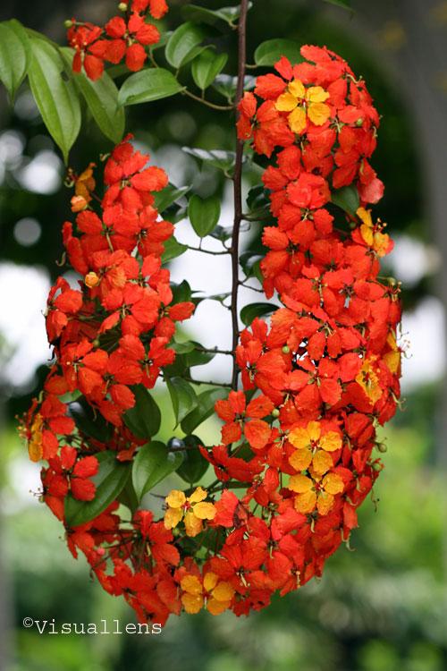 Bunga Raya Visuallens